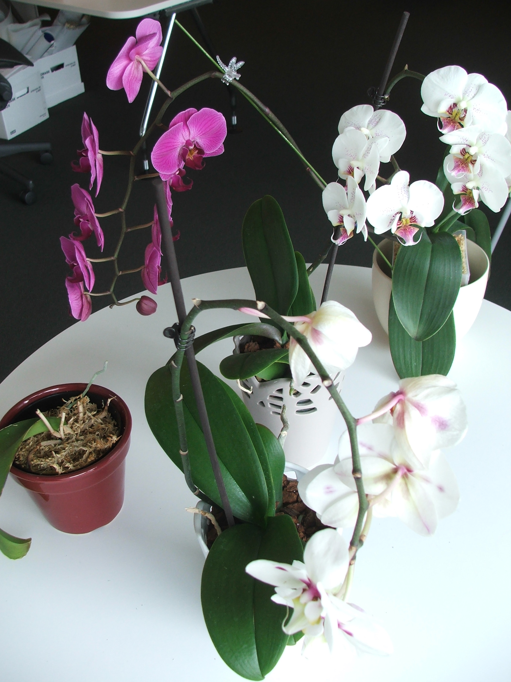 A collection of happy re-potted orchids in the Walker's office space.