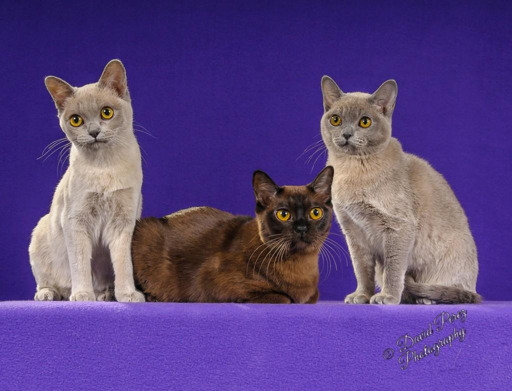 rsz_6907_-_three_burmese_kittens