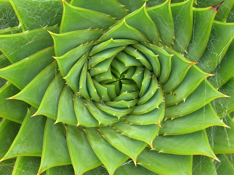 Aloe polyphylla, also known as Spiral aloe. Photo: Brewbooks (CC license)