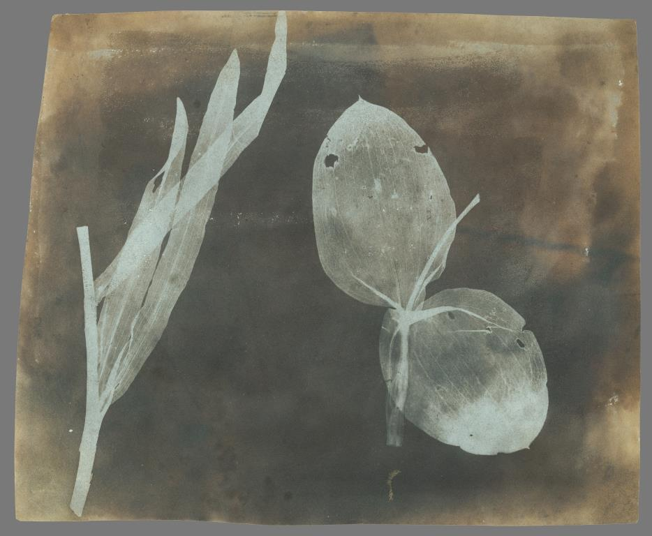 William Henry Fox Talbot, photographer (English, 1800 - 1877) Leaves of Orchidea, April 1839, Photogenic drawing negative Image: 17.1 x 20.8 cm (6 3/4 x 8 3/16 in.) The J. Paul Getty Museum, Los Angeles