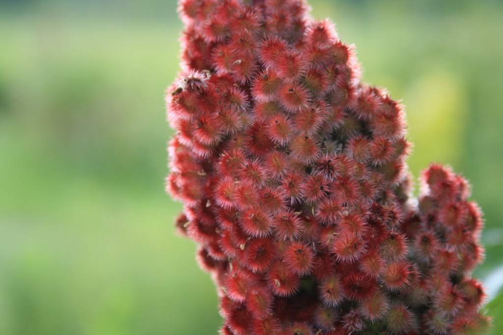 Sumac. Photo: Flickr user damozeljane, used under Creative Commons license